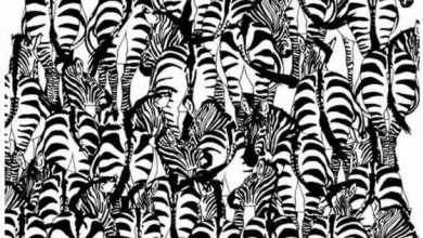 Can you spot the badger in this herd ff zebras?